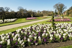 Hyacinth bedding on Top Terrace in spring at RHS Garden Wisley.